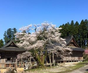明日の大桜満開