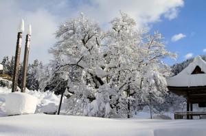 明日 雪の大桜