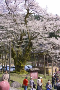 明日 満開の大桜