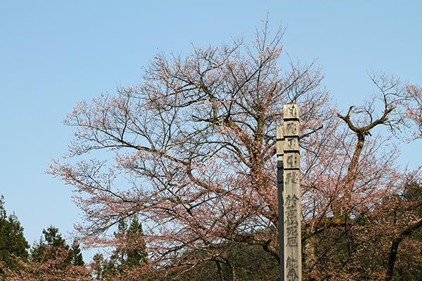 明日の大桜 - 2013年4月4日